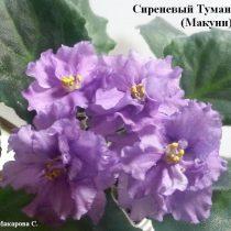 фиалка сиреневый туман Макуни ретро лиловая сиреневая фиолетовая