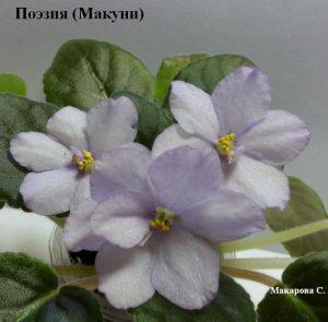 Фиалка светло фиолетовая лиловая Поэзия Макуни ретро белая