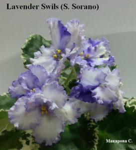 Фиалка Lavender Swirls