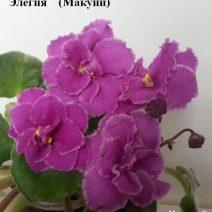 Фиалка Элегия фото