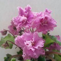 Фиалка розовая Фантина Макуни