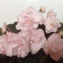 Фиалка Ева розовая Дадоян