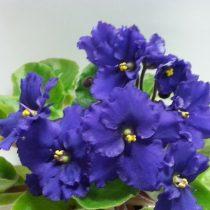 Фиалка Жозефина Josephine промышленная фиолетовая