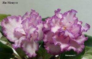 Фиалка Менуэт розовая