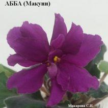 Фиалка АББА фото