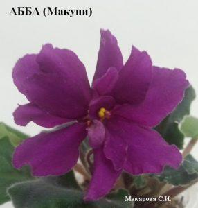 фиалка АББА Макуни ретро малиновая бордовая вишневая