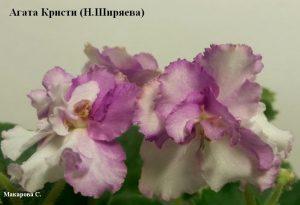 Фиалка Агата Кристи Ширяева ретро белая розовая
