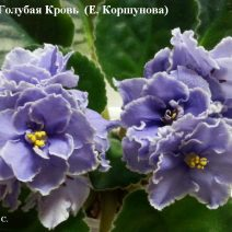 Фиалка ЕК-Голубая Кровь фото