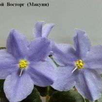 Фиалка Голубой Восторг Макуни ретро голубая