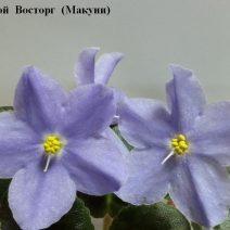 Фиалка Голубой Восторг фото