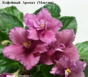 Фиалка Кофейный Аромат Макуни ретро лиловая