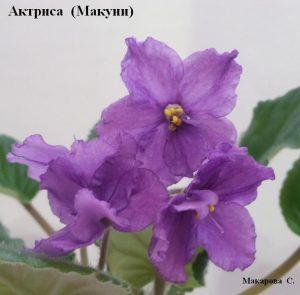 Фиалка Актриса Макуни ретро сиреневая фиолетовая
