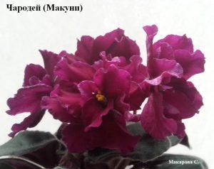 Фиалка Чародей Макуни бордовая ретро махровая