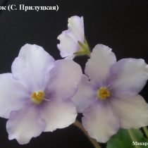 Фиалка исток Прилуцкая белая голубая ретро