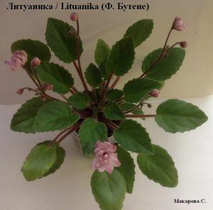 Фиалка Литуаника / Lituanika полумини трейлер розовая