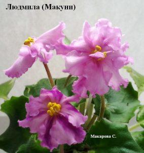 Фиалка Людмила розовая Макуни ретро