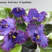 Фиалка Неоновая Бабочка Скрябин синие фиолетовые