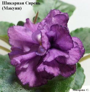 Фиалка Шикарная Сирень Макуни ретро лиловая сиреневая фиолетовая