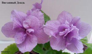 Фиалка Внезапный Дождь ретро розовая фэнтези