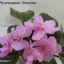 Фиалка Чудотворная ретро Макуни розовая