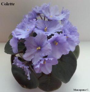 Фиалка Colette голубая ретро
