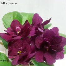 Фиалка АВ-Танго фото