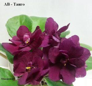 Фиалка Танго вишневая фиалковод