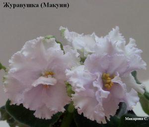 Фиалка Журавушка белая Макуни ретро