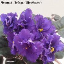 Фиалка Черный Лебедь Щербаков синяя фиолетовая ретро