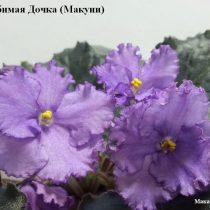 Фиалка Любимая Дочка Макуни ретро лиловая фиолетовая