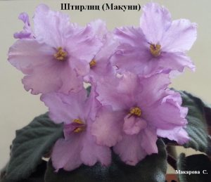 Фиалка Штирлиц Макуни ретро лиловая сиреневая
