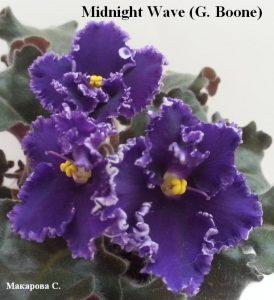 Фиалка Midnight Wave фиолетовая пурпурная ретро