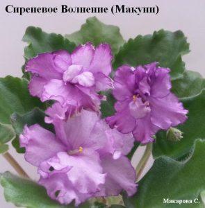 Фиалка Сиреневое Волнение Макуни сиреневые фиолетовые ретро