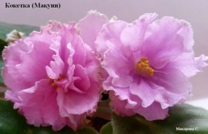 фиалка Кокетка Макуни розовая махровая ретро
