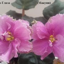 Фиалка Поцелуй в Глаза Макуни ретро розовая