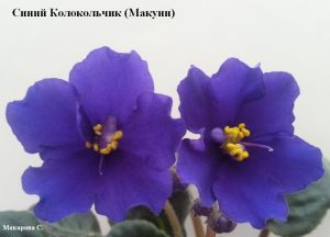 Фиалка Синий Колокольчик Макуни ретро синие колокольчики