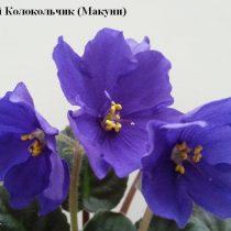 Фиалка Синий Колокольчик Макуни ретро синяя колокольчики