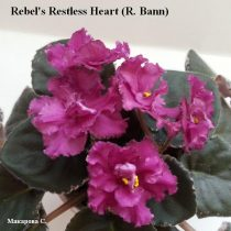 Фиалка Rebel's Restless Heart махровая