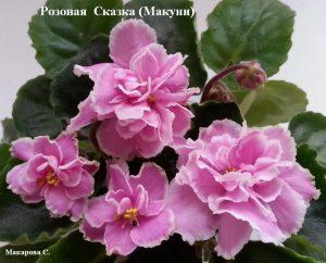 Фиалка Розовая Сказка розовая Макуни ретро