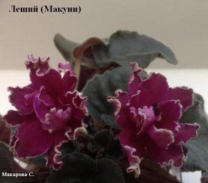 Фиалка Леший Макуни вишневая ретро