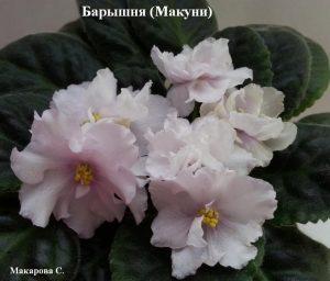 Фиалка Барышня Макуни ретро розовая