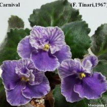 Фиалка Carnival фиолетовая ретро
