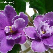 Фиалка Фестиваль ретро Макуни малиновая пурпурная