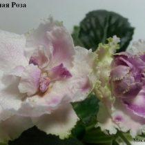 Фиалка Ледяная Роза Репкина белая вишневые мазки махровая