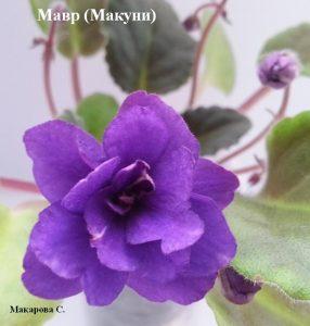 Фиалка Мавр полумини ретро фиолетовая Макуни