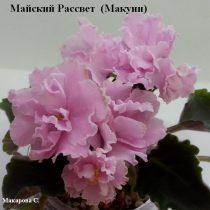 Фиалка Майский Рассвет ретро Макуни розовая полумини