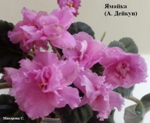 Фиалка Ямайка ретро розовая сиреневая Дейкун