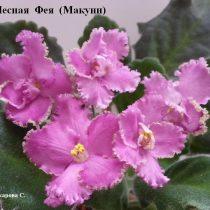 Фиалка Лесная Фея Макуни ретро насыщенно розовая