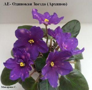 Фиалка АЕ - Одинокая Звезда фиолетовая Архипов фантазийная