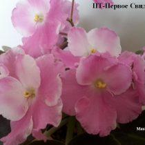 Фиалка ПТ-Первое Свидание белая розовая
